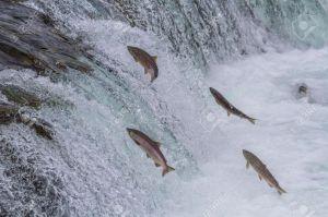 migracion-peces