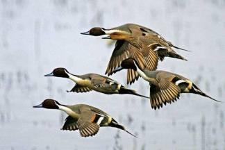patos-migratorios