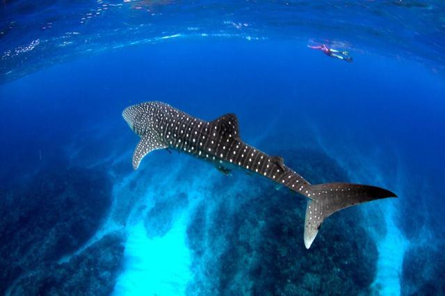 tiburon-ballena-peligro